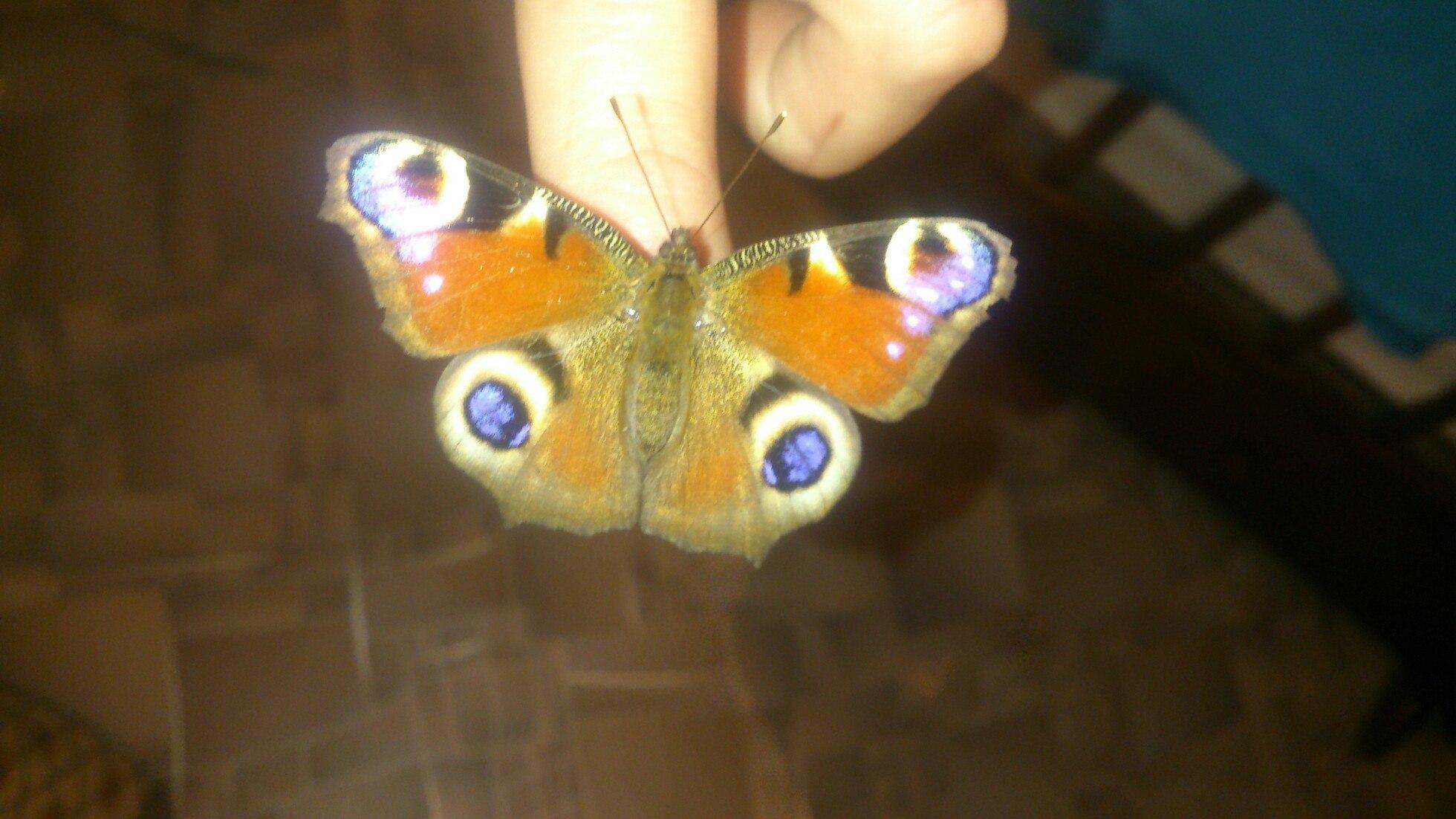 В середине декабря в Омске начали просыпаться бабочки [ФОТО]