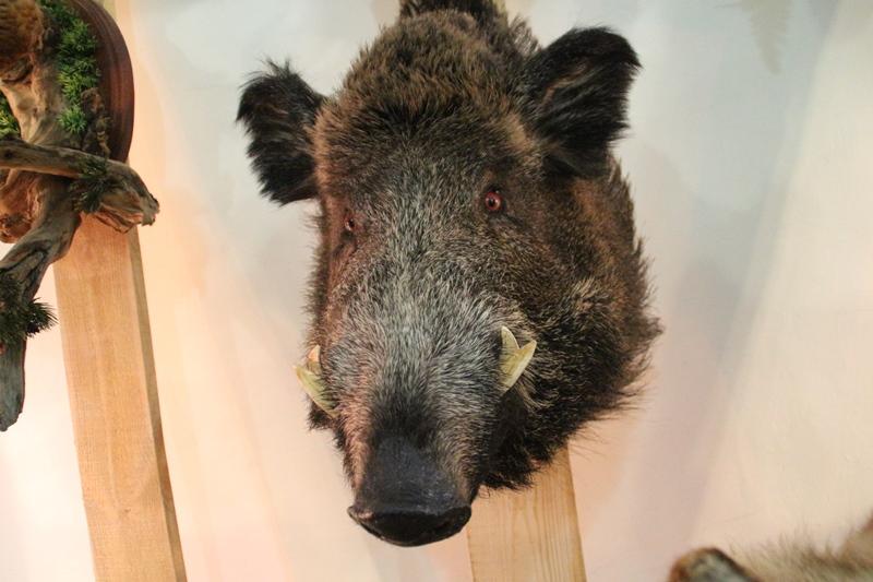 Численность лосей и кабанов в омских лесах выросла в 2,5 раза