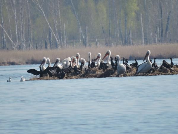 Остров, который восстановили для омских пеликанов, снова разрушился