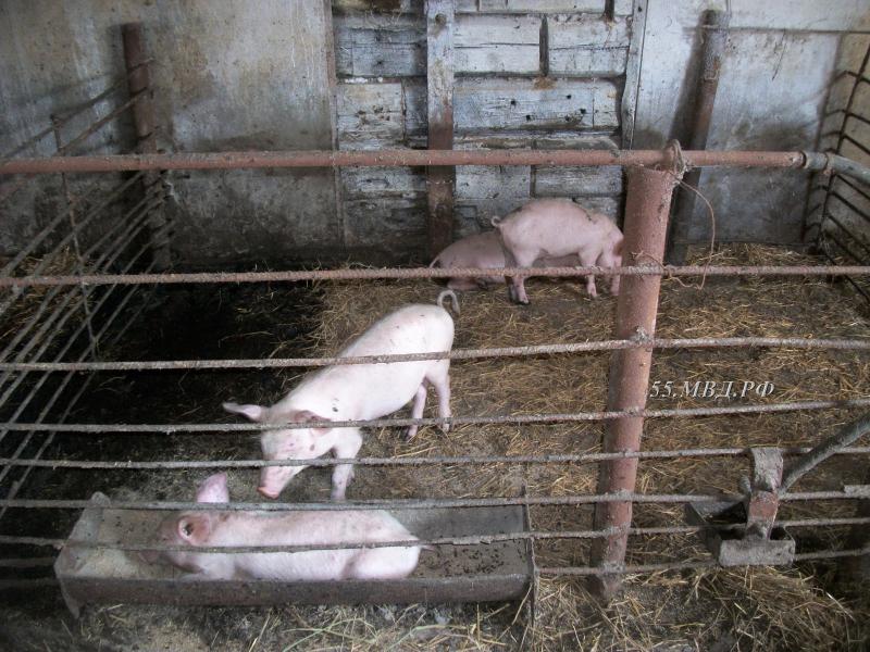 Сельчане из Омской области воровали поросят для своего хозяйства