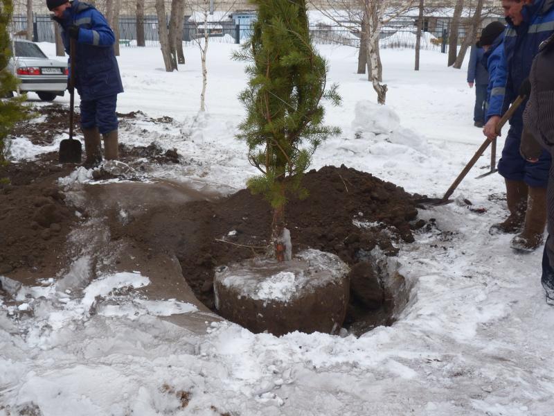 ВОмске доконца недели высадят ивы иели наКрасном Пути