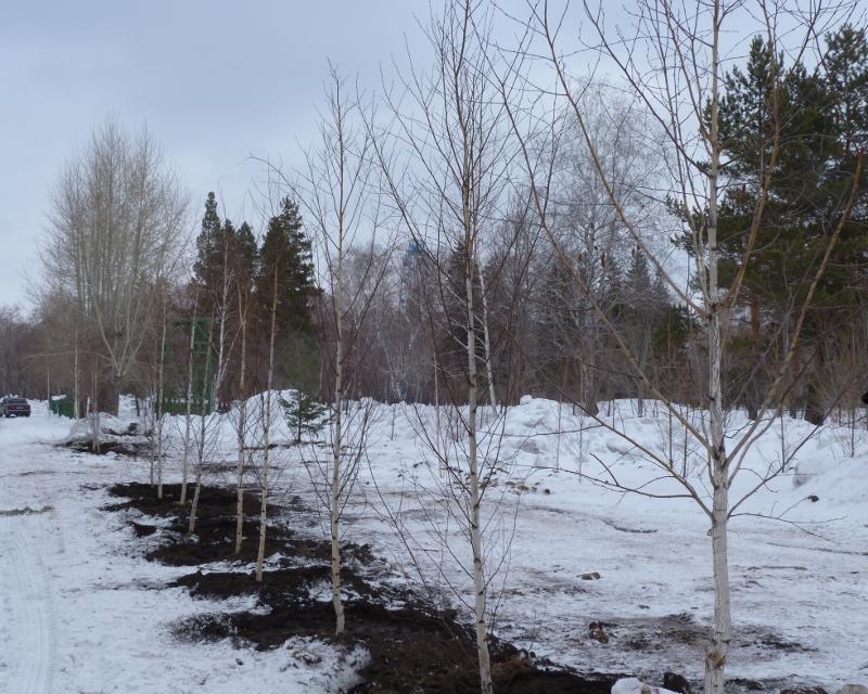 На улице Конева высадят более 330 деревьев