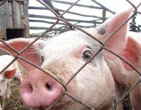 Всоседнем сПензенской областью регионе зафиксирована вспышка АЧС свиней