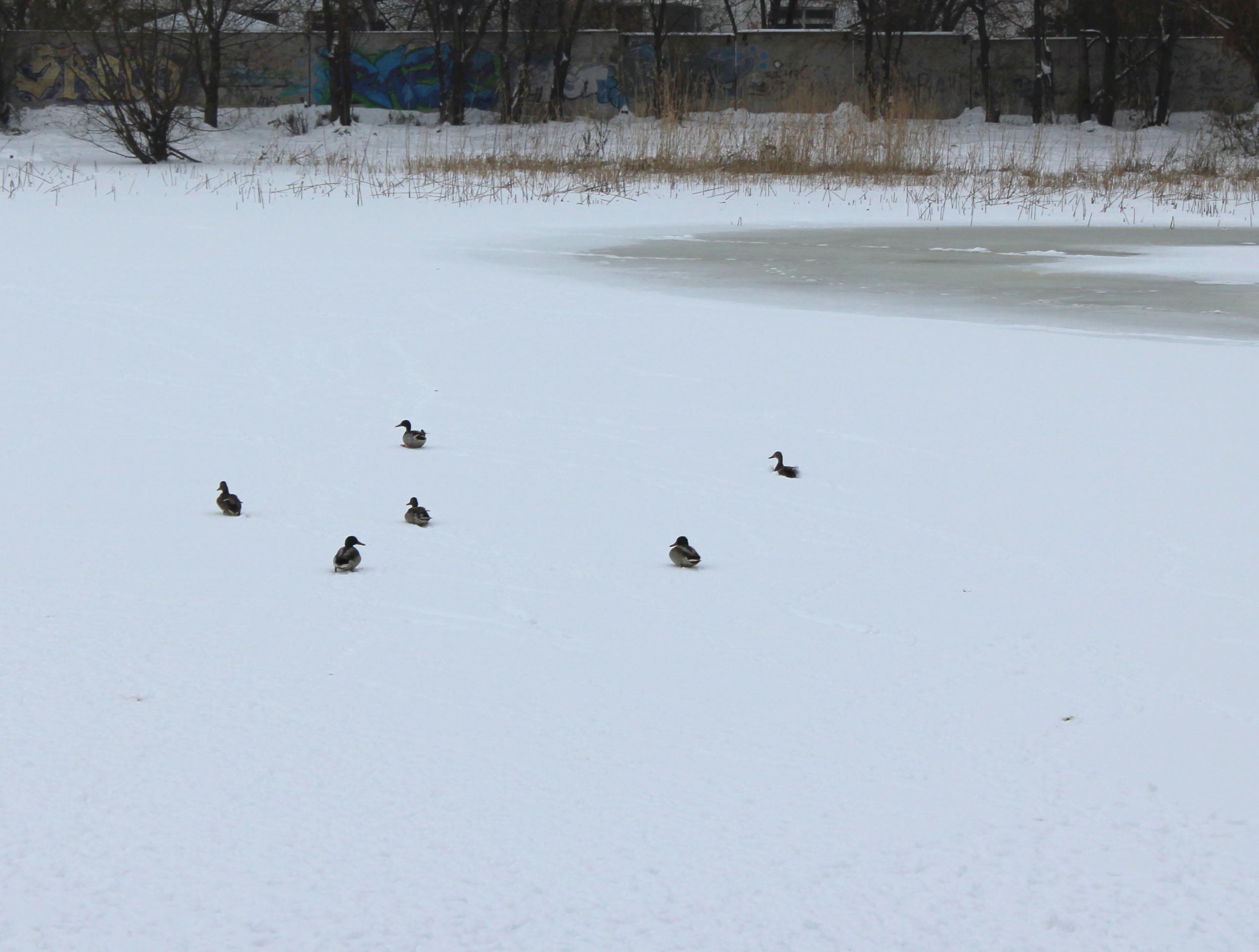 Растолстевшие утки несмогли улететь изОмска