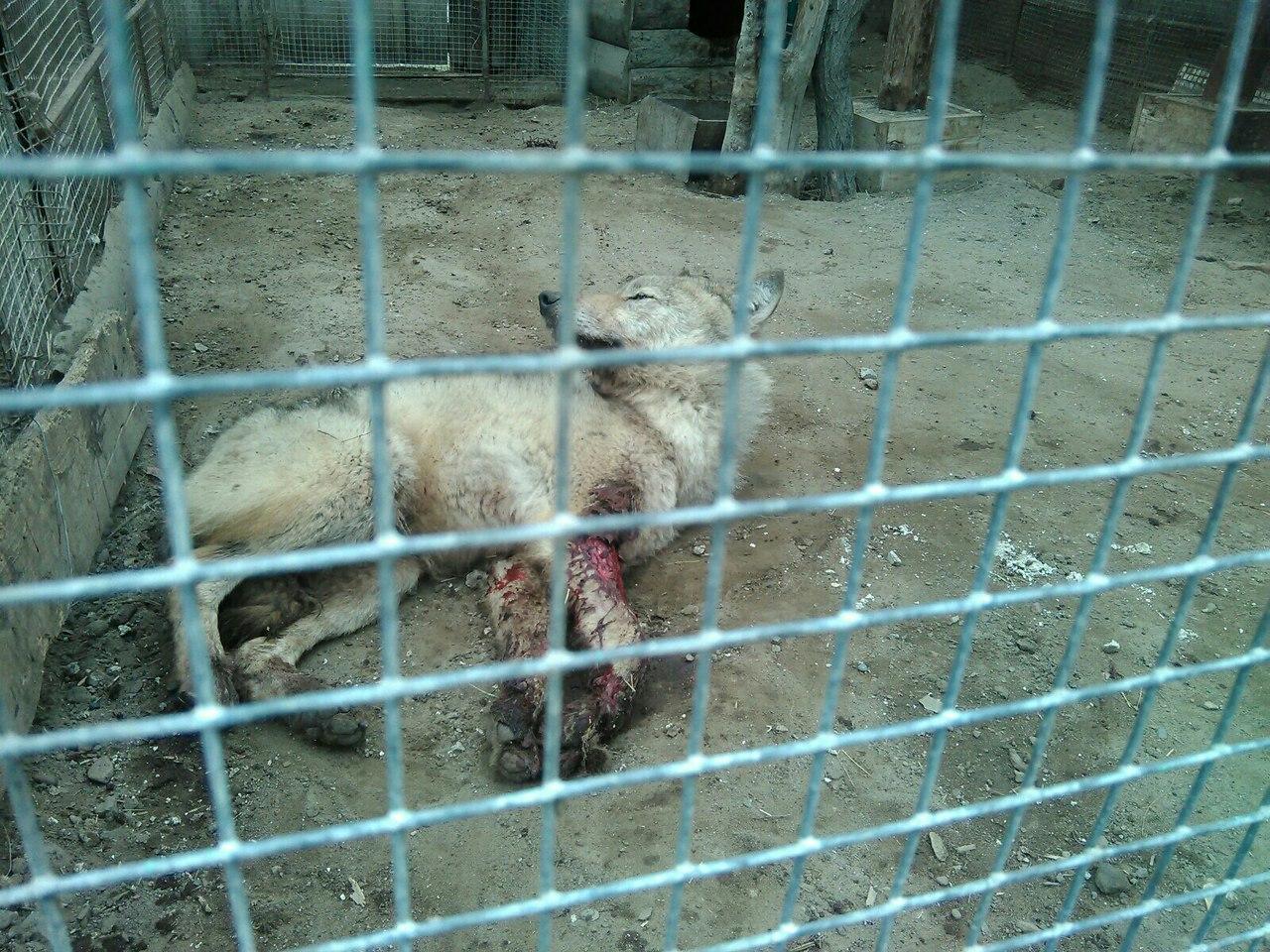 Омичи обеспокоены судьбой волчонка избольшереченского зоопарка