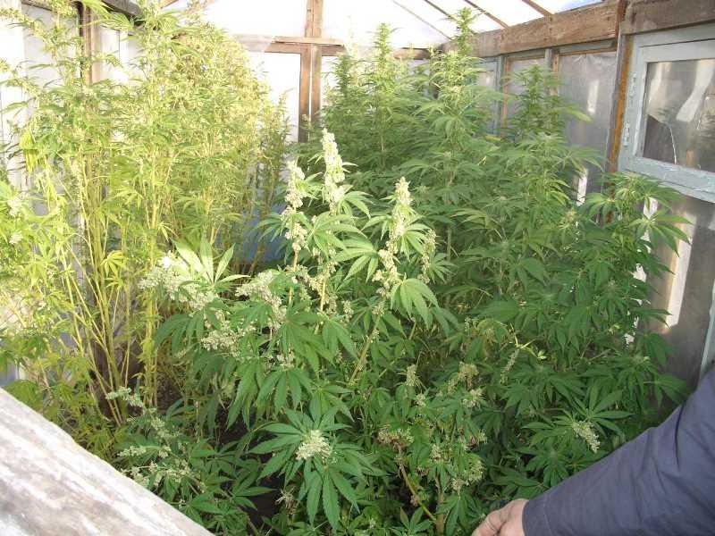 Конопли до 10 кустов лечение при отравлении марихуаной