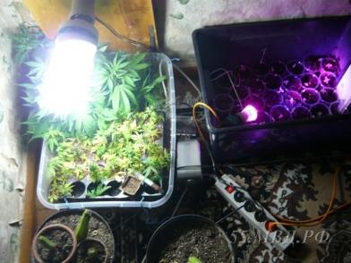 Семена конопли под лампой игра надо выращивать коноплю