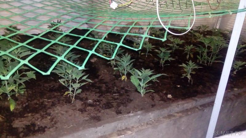 Выращивать коноплю зимой конопля выростить